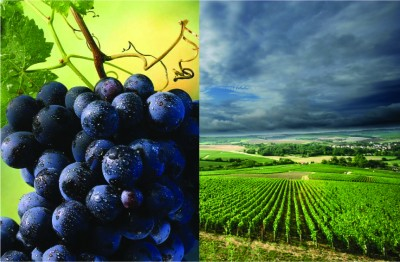 Grape Variety VS Appellations